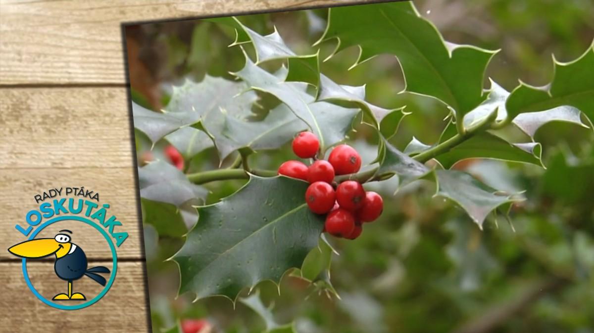 Cesmína: Krásná neopadavá dřevina, která je tradičním symbolem Vánoc