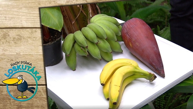 Rady ptáka Loskutáka - Banány