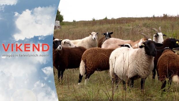 Ekologický experiment: Ovce zachraňují kriticky ohrožené druhy rostlin!