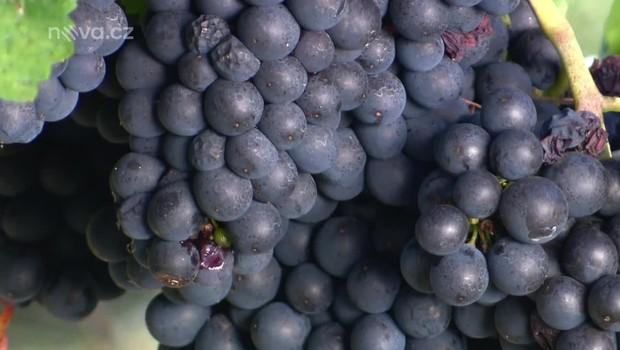 Rady ptáka Loskutáka - Vinná réva