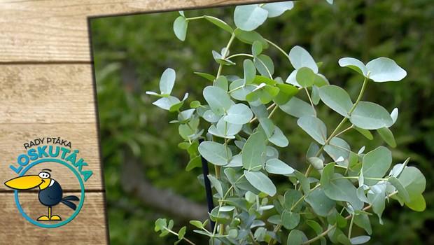 Eukalyptus v domácnosti příjemně osvěží vzduch. Proč je pro lidské zdraví prospěšný?