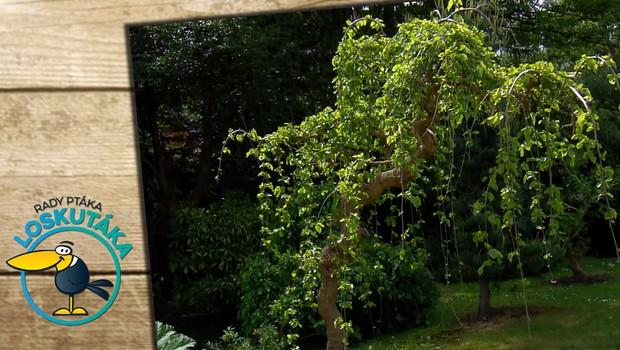Jak pečovat o převislé druhy stromů? Nemusíte se bát řezat větve na krátko