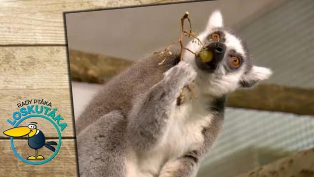 Endemický druh obývající Madagaskar. Co obnáší chov lemurů?