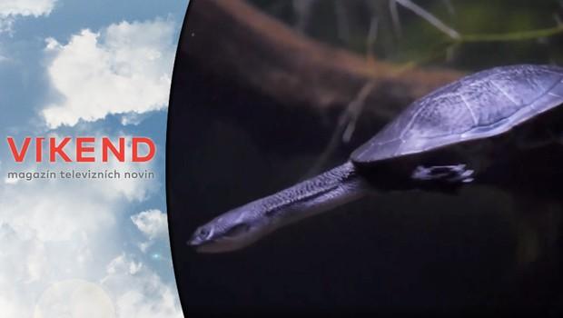 Želva, nebo had? Tento ohrožený druh se podařilo odchovat v pražské zoo