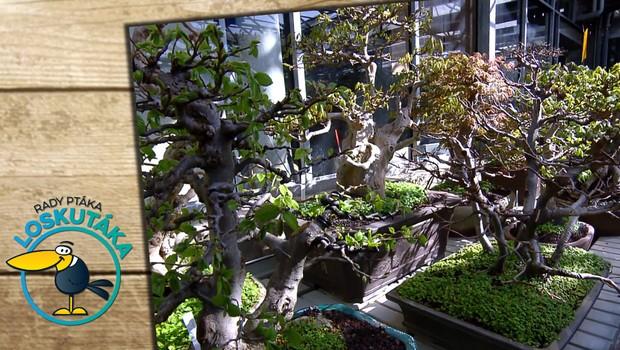 Bonsaje: Když se obrníte trpělivostí, můžete si tyto malé stromečky vypěstovat sami doma