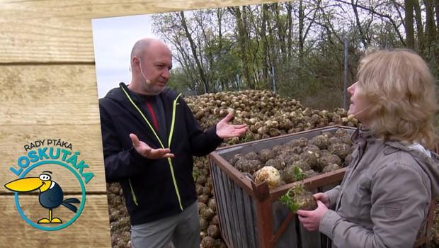 Celer opěvovali už antičtí básníci! Jak probíhá sklizeň?
