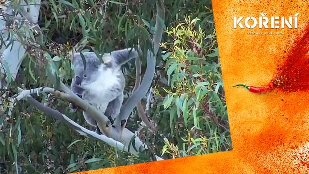 Záchrana koalů medvídkovitých. Jak se hledají v eukalyptových hájích?