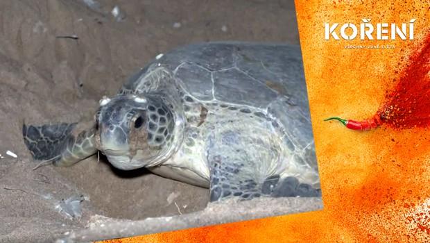 Mořských želv dramaticky ubývá! Pákistánští ochránci přírody se je snaží zachránit