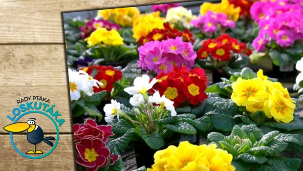 Víte, co jsou to primulky? Právě tyto květiny neodmyslitelně patří k jaru