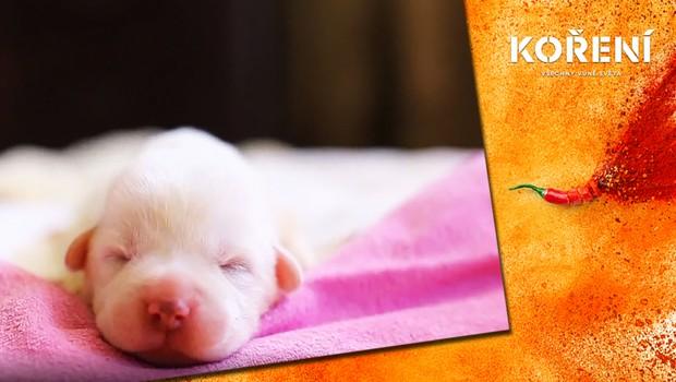 Roztomilý rekord: Fence gruzínského ovčáka se narodilo 17 překrásných štěňat