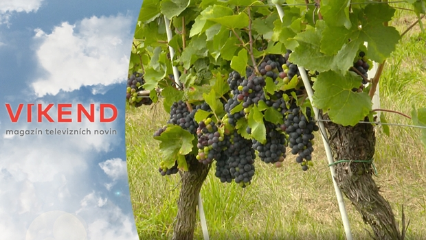 Tradice pěstování vína se vrací do Čech. V čem se české víno liší od moravského?