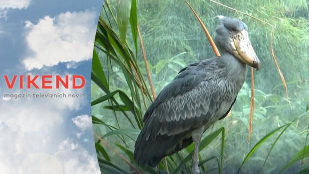 Štědrovečerní večere v zoo: Na čem si pochutnají pelikán a člunozobec?