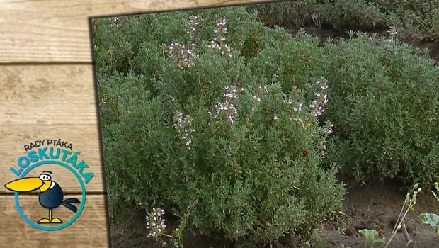 Proč byste měli začít pěstovat tymián? Kromě gastronomie se využívá i ve farmacii!