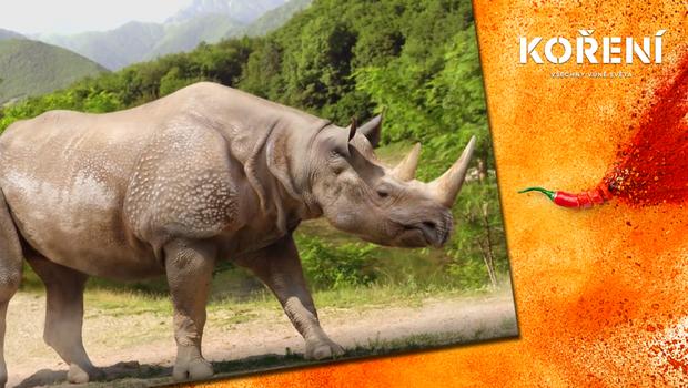 Koření - Stěhování nosorožců