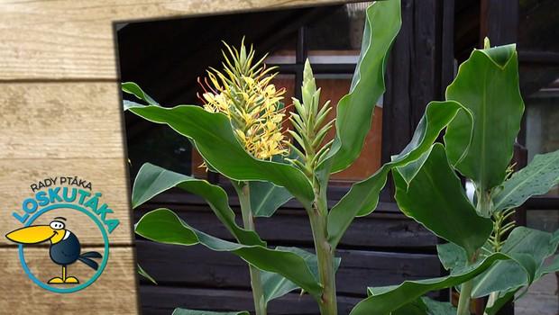 Motýlovec: Tuto tropickou rostlinu můžete pěstovat i v našich podmínkách