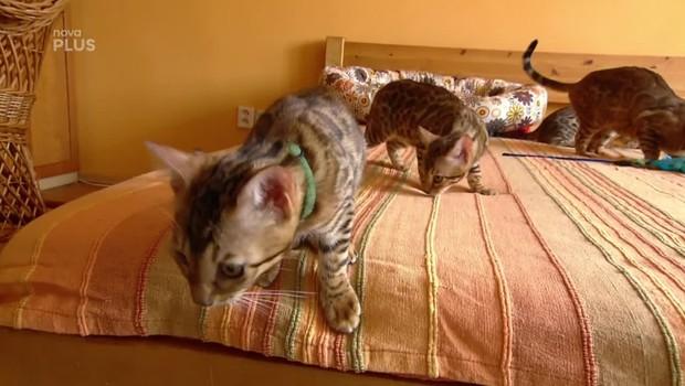 Rady ptáka Loskutáka - Chov kočky bengálské