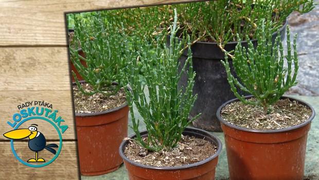 Slanorožec a olivová tráva. Obohaťte svůj jídelníček o nové bylinky!