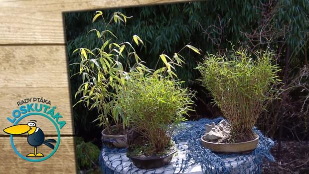 Miniaturní bambus: Vzhledem připomíná svého jmenovce, ale v mnohém se od něj liší