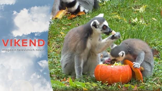 Rekordér: Zvířata v pražské zoo stylově oslavila Halloween