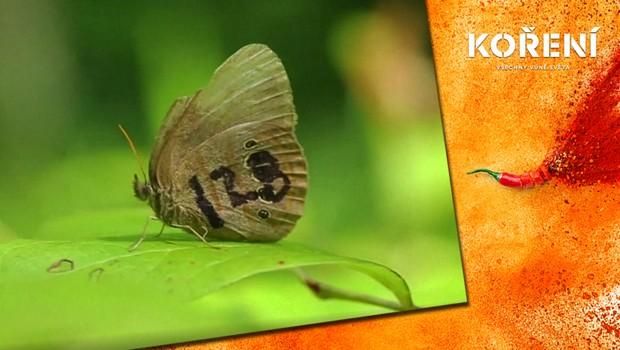 Koření - Motýl ze základny