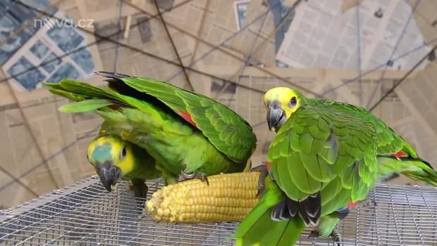 Rady ptáka Loskutáka - Chov papouška amazonského