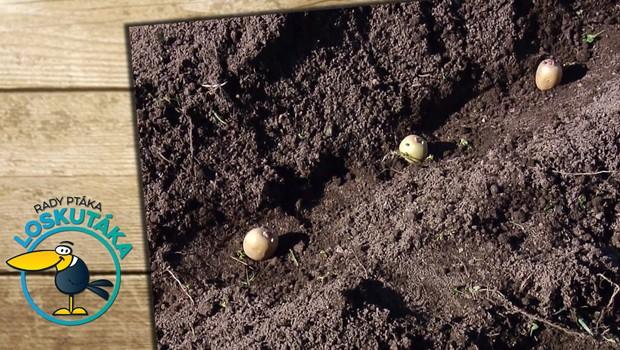 Domácí brambory: Kdy je vhodné období na přípravu sadby a jak při ní postupovat?