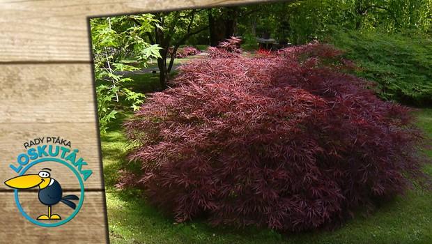 Barevná hra dřevin. Čím oživit zahradu v pauze mezi jarem a létem?