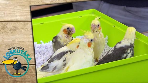 Pořiďte si přátelského papouška. Jak začít s chovem korel chocholatých?