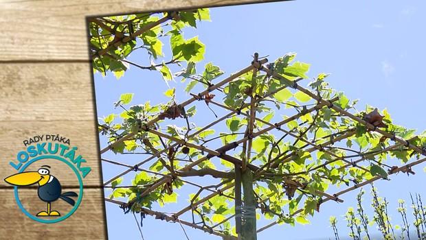 Vysaďte si na zahradě platan. Jeho koruna může vyrůst do různých tvarů!