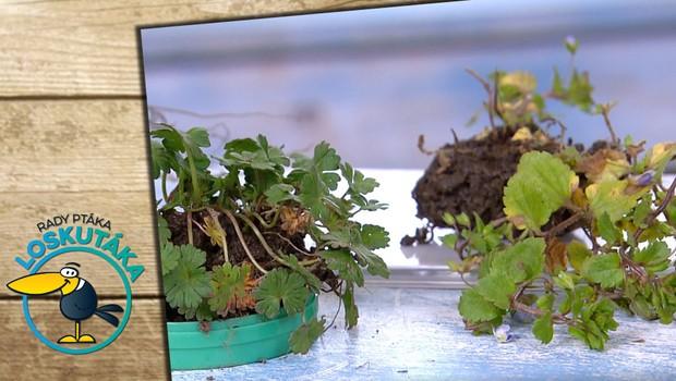 Zázračná rostlinka: Včleňte do svého jídelníčku léčivý popenec