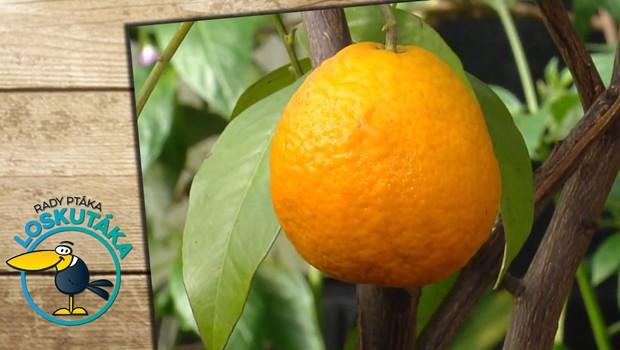 Citrusová výzva. Proč je velmi obtížné vypěstovat doma pomeranč nebo grapefruit?