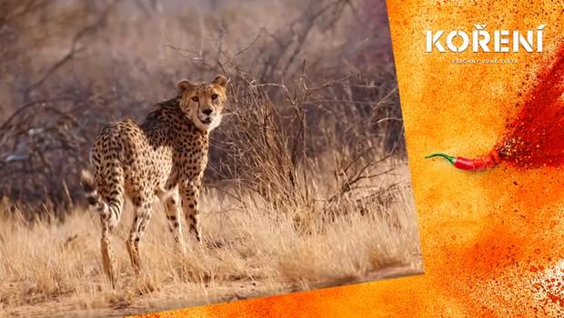 Experiment: Díky výzkumu už gepardi nechodí pytlačit dobytek farmářům