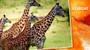 VÝPRAVA DO KENI: Podívejte se, jak v Africe zachraňují žirafy! VIDEO